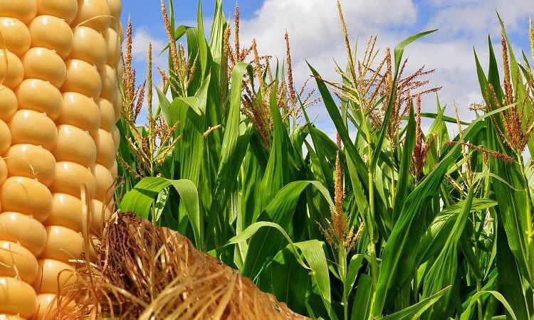 Se estiman 44 Millones de  Toneladas de maíz para la campaña  2018/19