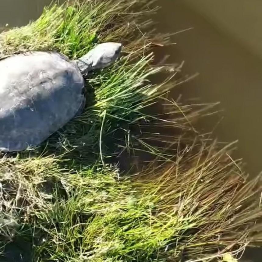 Historias de cuarentena: Encuentran una tortuga de río en la calle en la ciudad de Ramallo