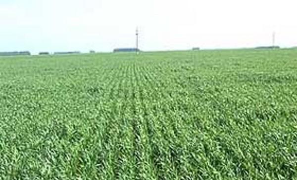 Zona núcleo: El trigo en condiciones malas a regulares alcanzó el millón de hectáreas